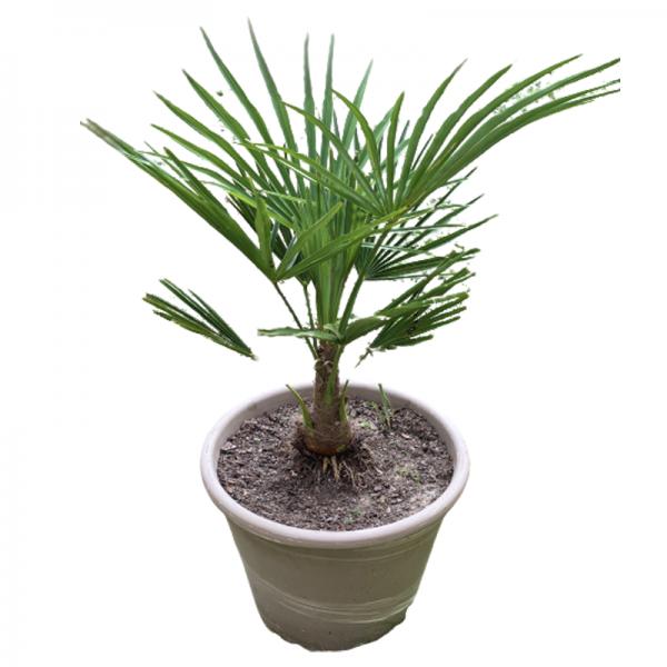 Palmier asiatique